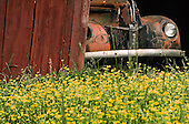 Old car in old barn with flowers