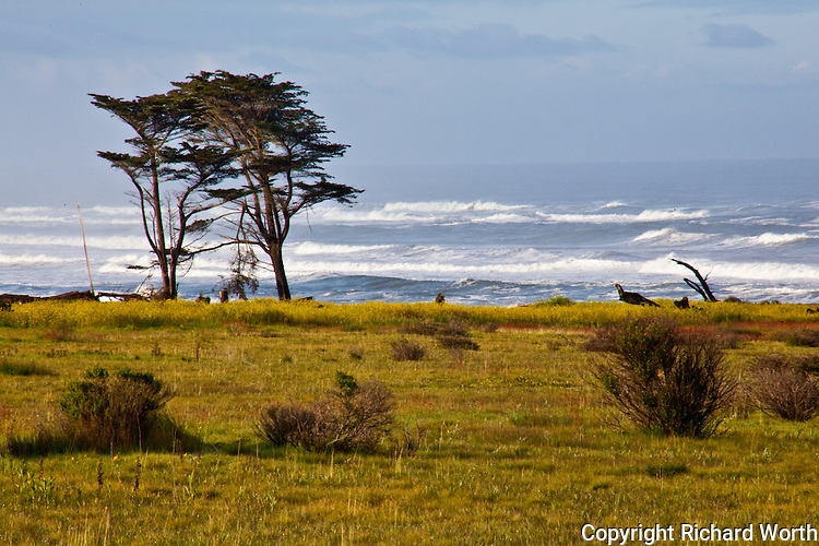 The sparce vegetation and roiling surf serve as counterpoint to the two trees standing against the elements at Ano Nuevo State Reserve on Central California's coast.  The broken, dangling limb between them giving evidence to battles waged.