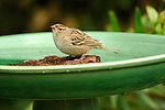 English Sparrow taking a bath