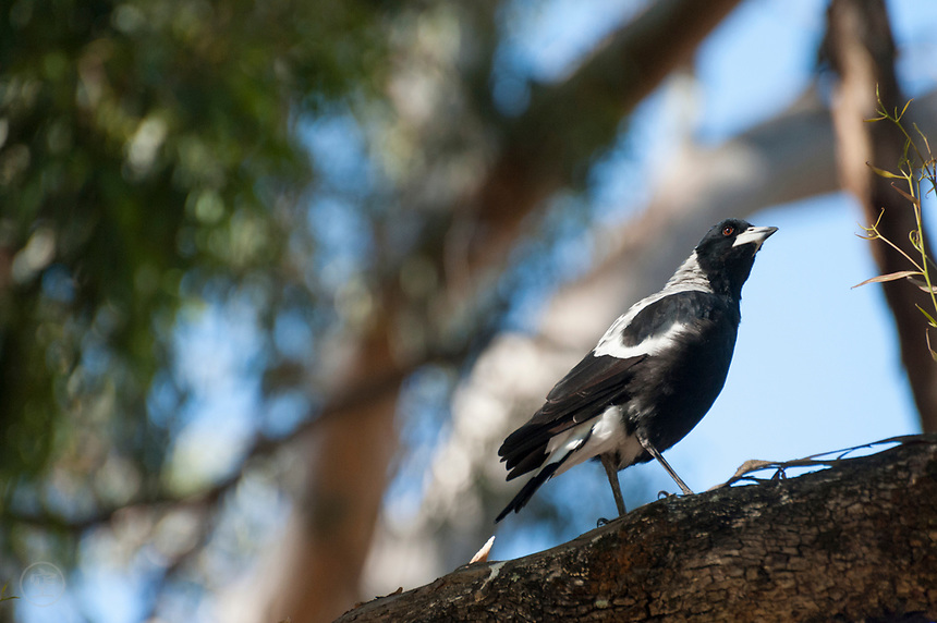 A curious, bold magpie watches the photographer from a tree branch.