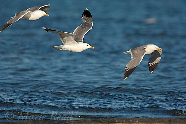 California Gulls (Larus californicus), three in flight, Mono Lake, California, USA