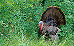 A male Wild Turkey (Meleagris gallopavo) displaying, USA.