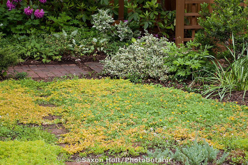 Stepping stone path in small garden lawn substitute with groundcovers Golden Creeping Jenny (lysimachia) and Potentilla; Susan Harris garden