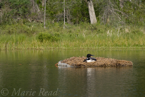 Common Loon (Gavia immer) adult and chick on an artificial nest platform, Michigan, USA.
