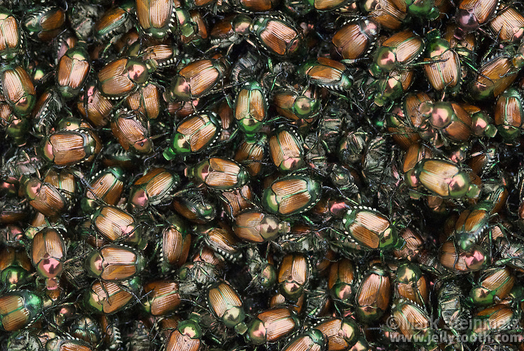 Full-frame background of a mass of Japanese Beetles (Popillia japonica)