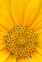 A close up of a composite flower (store bought hybrid) shows off the little flowers of the head and the rays.  Studio image