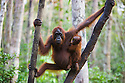 Orangutan mother with baby in tree (Pongo pygmaeus), endangered species due to loss of habitat, spread of oil palm plantations, Tanjung Puting National Park, Borneo, East Kalimantan,