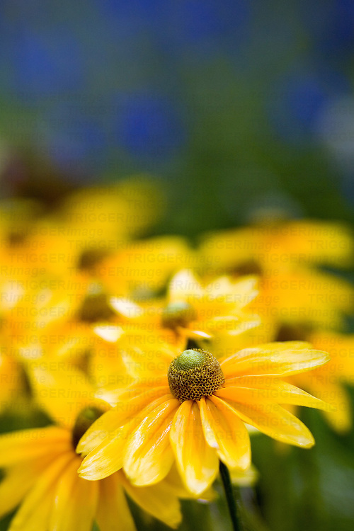 Yellow flower in a garden