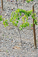 Soil detail. Llicorella soil. Young vine. Priorato, Catalonia, Spain