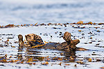 Sea Otter (Enhydra lutris) wrapping itself in kelp to keep itself from floating away, Santa Cruz, Monterey Bay, California