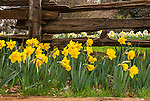 Daffodil flowers and split rail fence, McLaughlin's Daffodil Hill in bloom, Volcano, Calif.