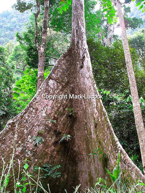 Rainforest tree buttress roots, Thailand