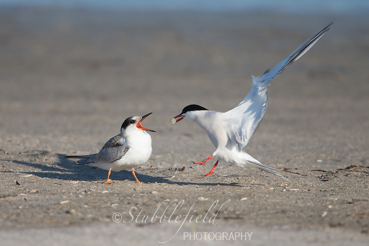 Common Tern (Sterna hirundo hirundo), Common subspecies, juvenile about to be fed by it's parent at Nickerson Beach Park in Lido, New York.
