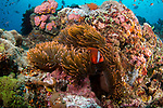 Tomato Anemonefish  reef scenic, Puerta Galera, Philippines, Verde Island
