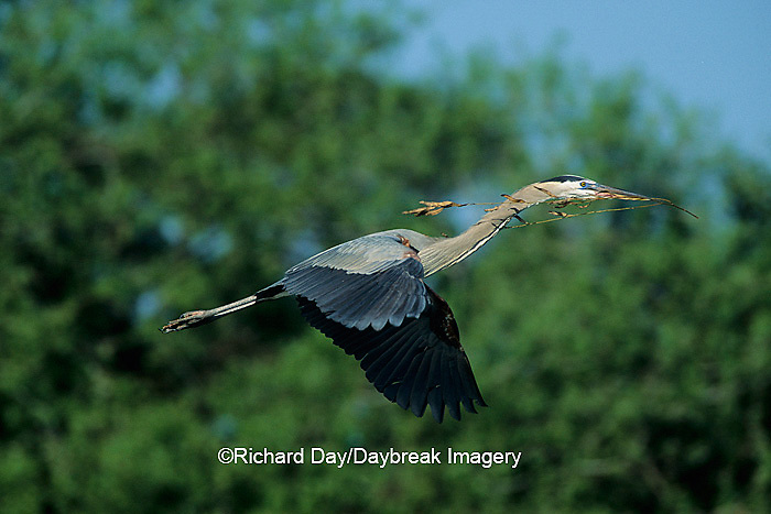 00684-02612 Great Blue Heron (Ardea herodias) in flight carrying branch to nest   FL