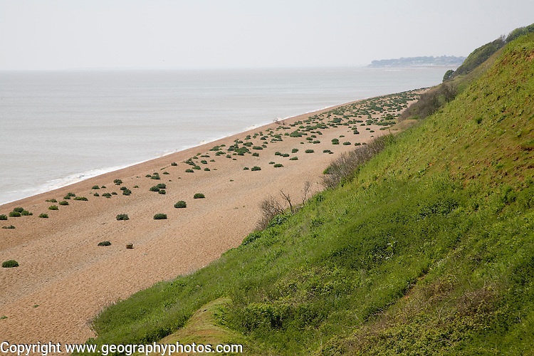 Sea kale growing on vegetated shingle beach at Bawdsey, Suffolk, England