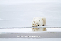01874-12306 Polar bear (Ursus maritimus) lying on frozen pond, Churchill Wildlife Management Area, Churchill, MB Canada