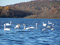 Swans, Rockland Lake