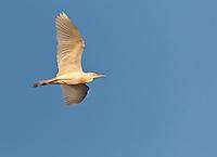 Cattle Egret in-flight against bright blue sky. Bird is in breeding plumage