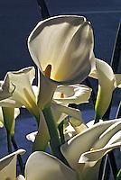 Flor Copo-de-leite, lírio-do-nilo ( Zantedeschia aethiopica) SP. Foto de Manuel Lourenço.