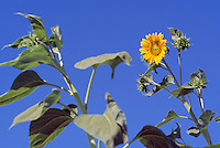 Sunflower (Helianthus annuus) Seed Head and Leaves