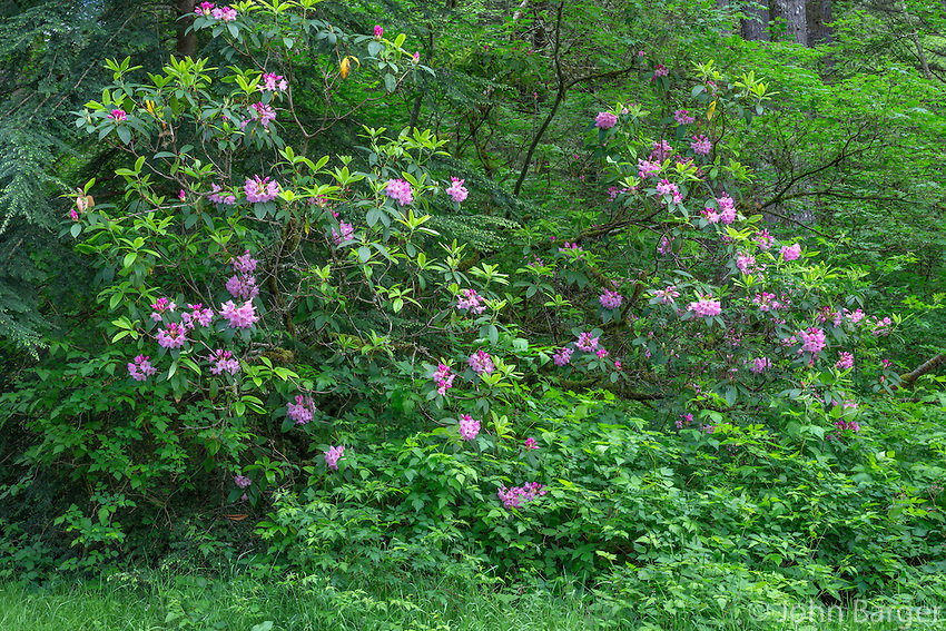 ORSF_D141 - USA, Oregon, Silver Falls State Park, Rhododendron blooms at edge of forest dominated by Douglas fir and western hemlock.