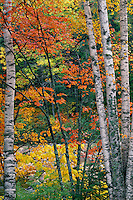 Paper birches and red maples<br />