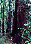 Boy hiking in old growth coast redwoods at Henry Cowell Redwoods SP in Felton