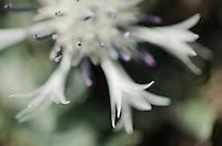 Centaurea pindicola,  The Ignoussa mountains, Lake Kerkini, Macedonia, Greece