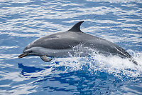 Pantropical Spotted Dolphin, Stenella attenuata, porpoising, Island of Saint Helena, South Atlantic Ocean