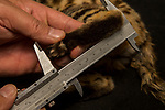 Black-footed Cat (Felis nigripes) biologist, Alex Sliwa, measuring foot length of male during collaring, Benfontein Nature Reserve, South Africa