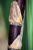 Amazon, Brazil. Sugar cane - close up.
