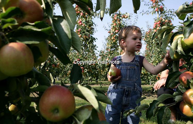 Foto: VidiPhoto..HETEREN - Duizenden Nederlanders trokken zaterdag naar de boomgaarden van fruittelers om zelf appels te gaan plukken tijdens de Landelijke Apelplukdag. Tientallen telers door heel Nederland hadden hun bedrijf opengesteld. Jong en oud maakten daar op grote schaal gebruik van, zoals hier bij fruitteler Nico van Olst in het Betuwse Ressen. Volgens een onderzoek van Nipo vinden 70 procent van de Nederlanders de appel het lekkerste fruit.
