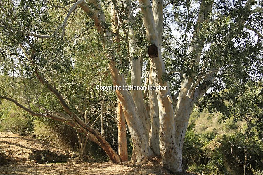 Israel, Upper Galilee, Eucalyptus tree in Ein Meirav