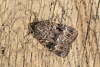 Svensson's Copper Underwing Amphipyra berbera Length 24-26mm. A well-marked moth that is very similar to Copper Underwing. Rests with its wings held flat, or with one forewing partly overlapping the other. Often congregates communally in dark places in the daytime. ADULT has brown forewings overall, marked with jagged white and dark lines, and showing a pale central eyespot. The hindwing underside has an orange flush that extends towards the base of wing on the trailing edge (more extensive than in Copper Underwing). Seen head-on, the palps are dark with whitish tips. Flies July-September. Larva feeds on deciduous trees and shrubs. Widespread and generally common in southern and central Britain.