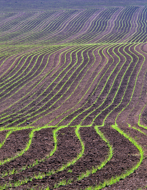 Early spring rows of drilled grass. Near Alpine, Oregon