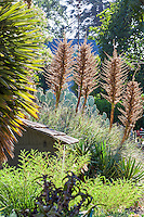 Puya berteroniana backlit Bancroft Garden