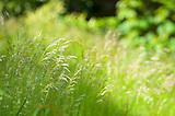 Grass Field Of Roan Mountain Glittering on Sunlight.