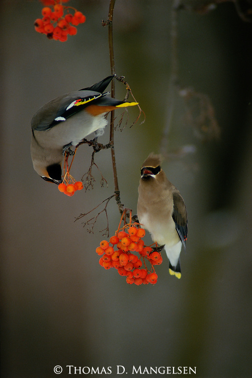 A cedar and bohemian waxwing share a mountain ash branch to feed on the berries.