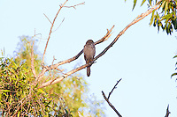 Brown Goshawk immature, Mary River, Kakadu NP, NT, Australia