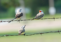 NWA Democrat-Gazette/FLIP PUTTHOFF<br /> SINGING TRIO<br /> Scissor-tail fly catchers roost on a fence Tuesday in west Benton County on Tuesday. Terry Stanfill of the Decatur area took the picture near Gentry.