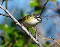 Adult female black-capped vireo