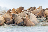 Atlantic walruses, Odobenus rosmarus rosmarus, lying at the rocky waterfront, Svalbard, Spitsbergen, Norway, Europe