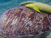 green sea turtle carapace, Chelonia mydas, shell details, Abu Dabbab, Egypt, Red Sea, Indian Ocean