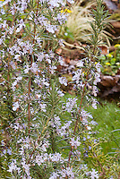 Upright Rosemary herb in flower, Rosmarinus officinalis 'Miss Jessup's Upright'