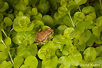 0810-0901  Spring Peeper Frog Climbing on Green Sedums, Pseudacris crucifer (formerly: Hyla crucifer)  © David Kuhn/Dwight Kuhn Photography
