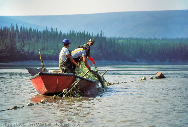 Fishermen in a boat check the gill net while subsistence fishing for King salmon on the Yukon river, interior Alaska.