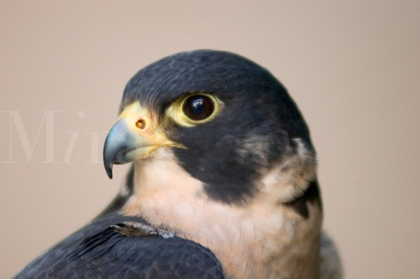 Head of a Peale's Peregrine Falcon (Falco peregrinus peale) at rest