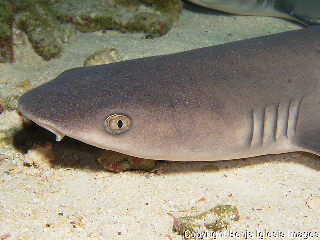 Portrait of a white tip reef shark on the reef at Molokini Maui Hawaii.