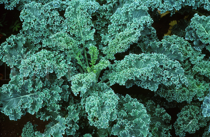 Kale, cole crop. Vegetable. Garden, gardening, agriculture. New Jersey United States.